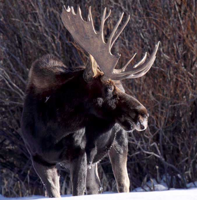 Moose Hunts at C Lazy U Outfitters in Colorado