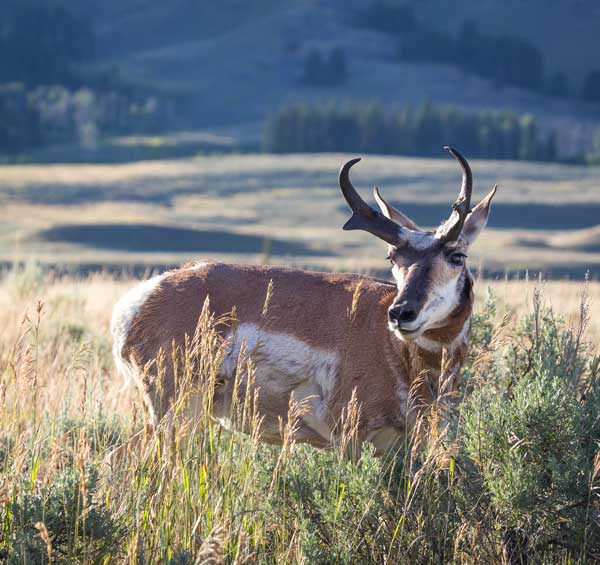 pronghorn antelope hunts